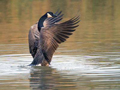 Photograph - Canada Goose 1286-011518-1cr by Tam Ryan