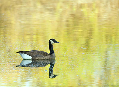 Photograph - Canada Goose 1424-011618-1cr by Tam Ryan