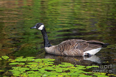 Photograph - Canada Goose 2 Minnekhada Marsh by Sharon Talson