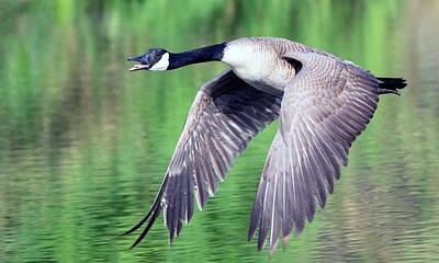 Photograph - Canada Goose 5090-040618-1cr by Tam Ryan
