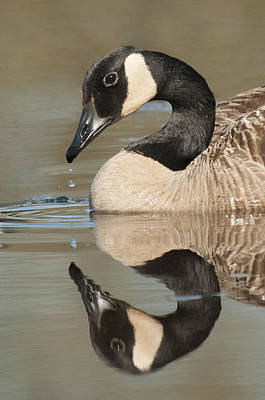 Photograph - Canada Goose And Drop by Lauren Brice