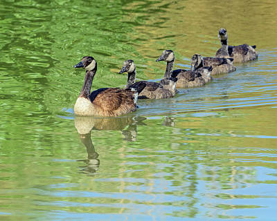 Photograph - Canada Goose And Goslings 1506-052218-1cr by Tam Ryan