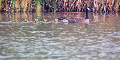 Photograph - Canada Goose And Goslings 4823-040518-1cr by Tam Ryan