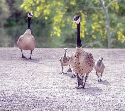 Photograph - Canada Goose And Goslings 7582-042618-1cr by Tam Ryan