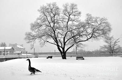 Photograph - Canada Goose by Andrew Dinh