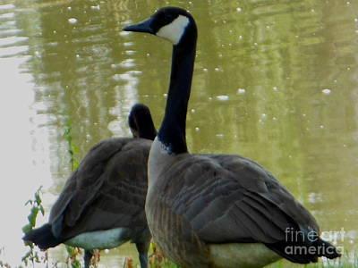 Canada Goose Edge Of Pond Art Print