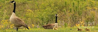 Photograph - Canada Goose Family by J McCombie