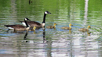 Photograph - Canada Goose Family by Karen Adams