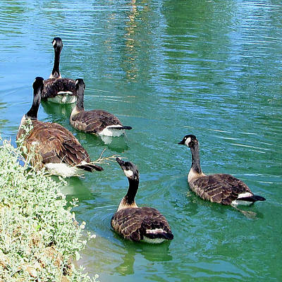 Frank Sinatra - Canada Goose Family on a Delightful Summer Day by Kathleen J Beller
