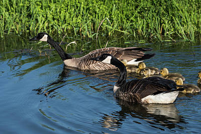 Photograph - Canada Goose Family by Robert Potts