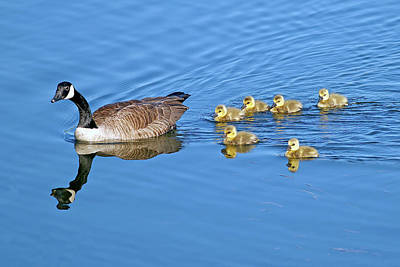 Photograph - Canada Goose Family by Sharon Talson