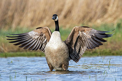 Photograph - Canada Goose Flapping Wings by Arterra Picture Library