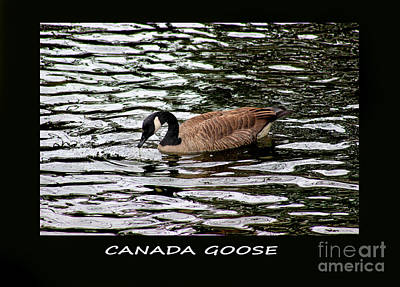 Photograph - Canada Goose Framed by Karen Adams