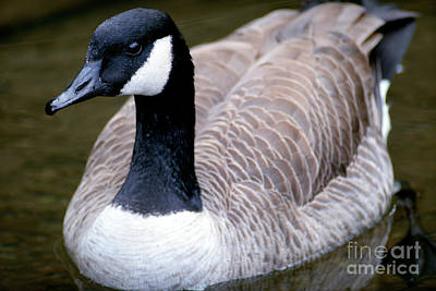 Photograph - Canada Goose Full Frame by Terry Elniski