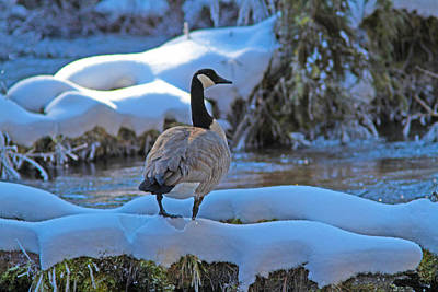 Photograph - Canada Goose by Gary Wing