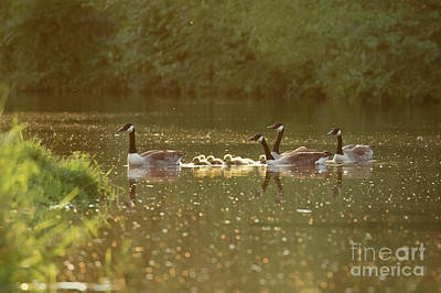 Canada Goose Geese Family - Branta Canadensis - With Goslings On A Art Print