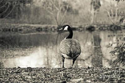 Photograph - Canada Goose  by Giovanni Malfitano