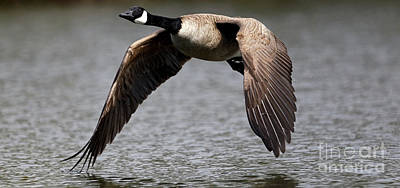 Photograph - Canada Goose Gliding Above Water by Sue Harper