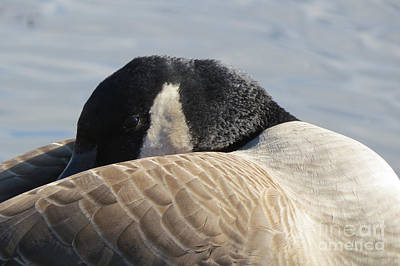 Photograph - Canada Goose Head by Mary Mikawoz