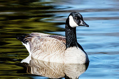 Photograph - Canada Goose In A Pond by Vishwanath Bhat