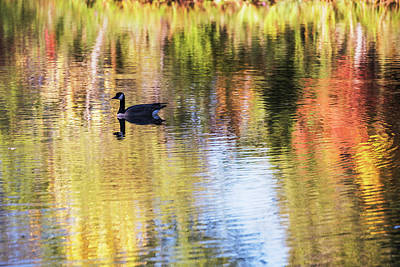 Photograph - Canada Goose In Autumn by Vishwanath Bhat
