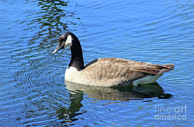 Photograph - Canada Goose In Blue Water 2016 by Karen Adams