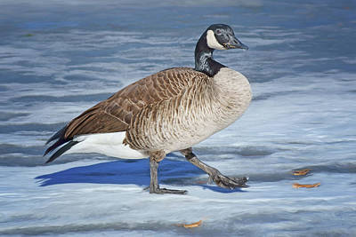 Photograph - Canada Goose - In Winter by Nikolyn McDonald