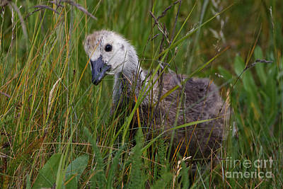Photograph - Canada Goose Inspecting The Grass by Sue Harper