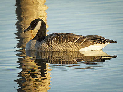 Photograph - Canada Goose by Jean Noren