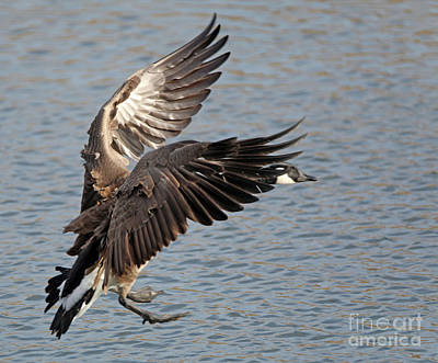 Photograph - Canada Goose Landing by Elizabeth Winter