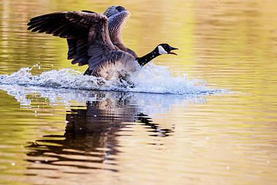 Photograph - Canada Goose Landing by Vishwanath Bhat