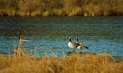 Photograph - Canada Goose by Mario Brenes Simon