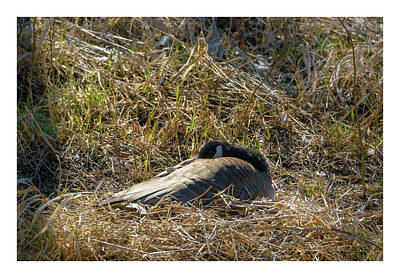 Photograph - Canada Goose Nesting 2 by Edward Peterson