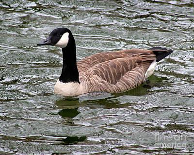Photograph - Canada Goose Number 1  8x10 by Karen Adams