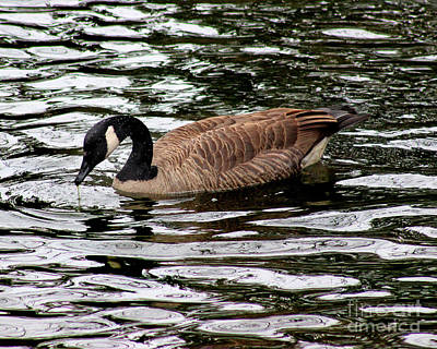 Photograph - Canada Goose Number 3 8x10 by Karen Adams