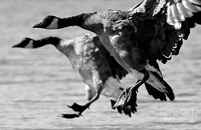 Painting - Canada Goose Pair Bw by Sue Harper