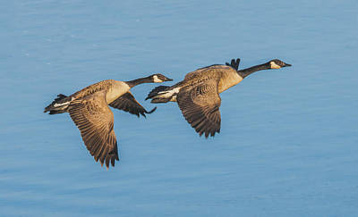 Photograph - Canada Goose Pair Flying Together by William Bitman