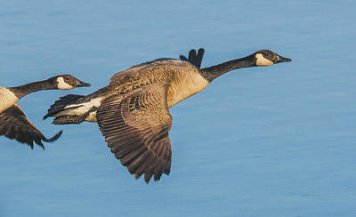 Photograph - Canada Goose Pair Flying by William Bitman