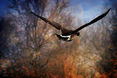 Photograph - Canada Goose by Pennie  McCracken
