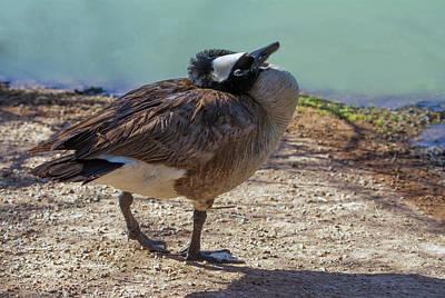 Photograph - Canada Goose Preening 4228-040318-1cr by Tam Ryan