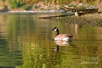 Photograph - Canada Goose by Sean Griffin