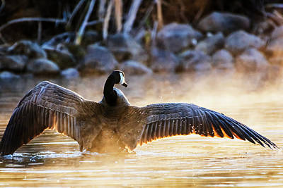 Photograph - Canada Goose Stretching Its Wings by Vishwanath Bhat
