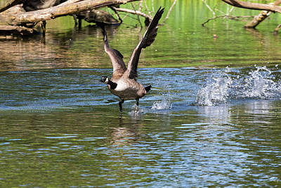Photograph - Canada Goose Taking Flight by Jit Lim