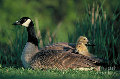 Caring Mother Photograph - Canada Goose With Goslings by Alan and Sandy Carey and Photo Researchers