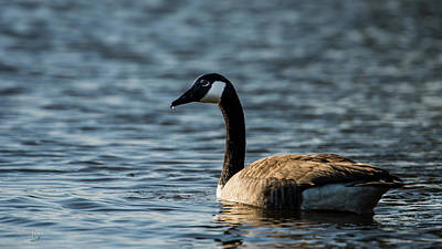 Photograph - Canada Goose's Drop by Torbjorn Swenelius