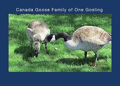 Canada Gosling Growing Up Art Print