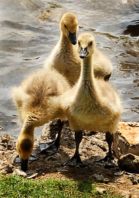 Art Print featuring the photograph Canada Goslings by Kathleen Stephens