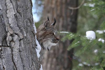 Photograph - Canada Lynx 0954 by Teresa Wilson