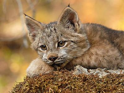 Lynxes Photograph - Canada Lynx Kitten 3 by Wade Aiken