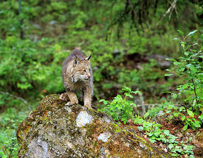 Canadian Lynx Photograph - Canada Lynx by Louise Heusinkveld